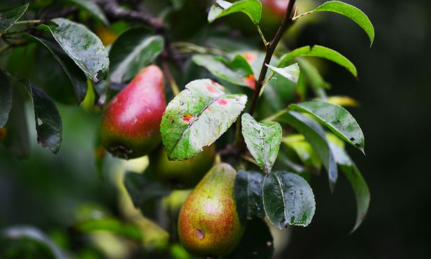 Der Birnengitterrost macht sich auf Birnbäumen schon ab dem Frühjahr bemerkbar.