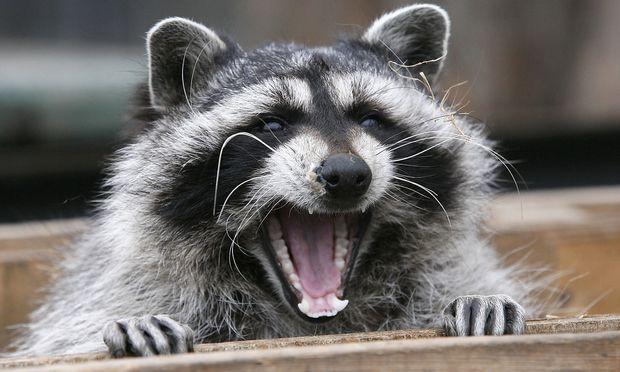 Symbolbild. Dieser Waschbär ist ein Zoo-Bewohner. Doch ein Artgenosse sorgte in den USA für Aufsehen.