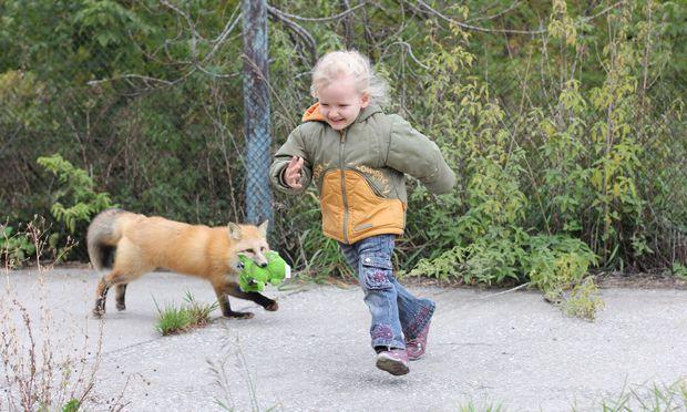 """Von """"Beasts"""" zu """"Beautys"""" in nur vierzig Jahren: Die Füchse sind zutraulich geworden und haben jegliche Aggressivität abgelegt."""