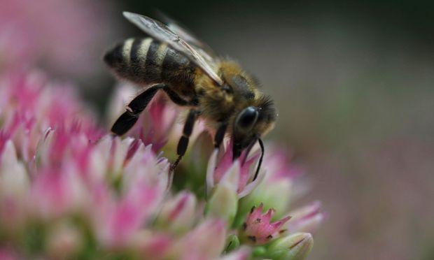 Bienen brauchen Nahrung, Gärtner können da behilflich sein.