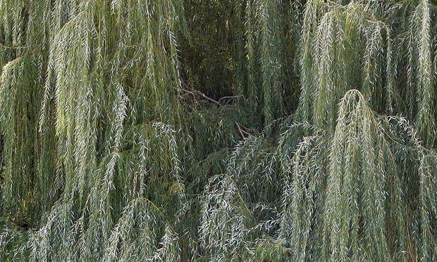 Hierzulande haben Weiden, die gestanden haben, also maximal ein Geständnis abgelegt.