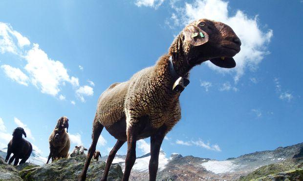Schafe futtern die Almen kahl.