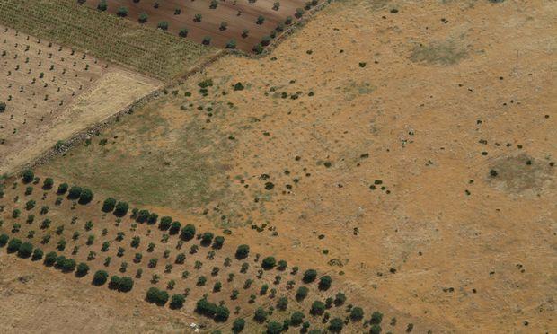 In Sizilien zeigen die dunkelgrünen kreisförmigen Bewuchsmerkmale im gelblichen Feld eine ehemalige Olivenplantage.