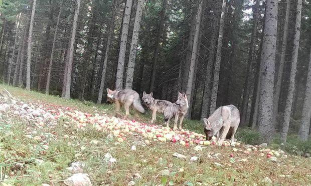 österreich Hat Ein Neues Wolfsrudel Diepressecom