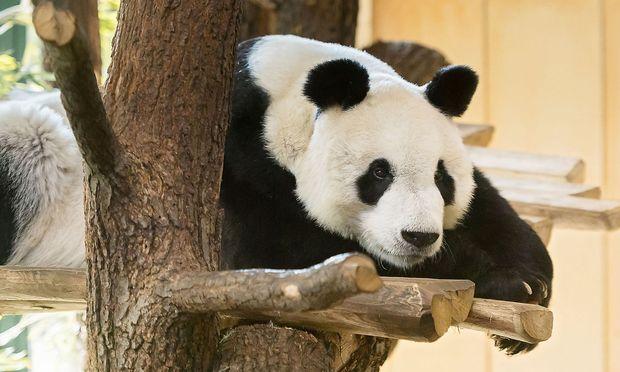 Yuan Yuan auf einem vom Tiergarten Schönbrunn veröffentlichten Bild