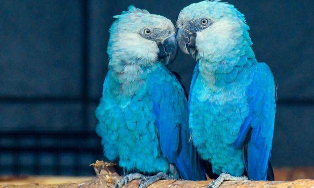 Zwei in Gefangenschaft lebende Spix-Aras.