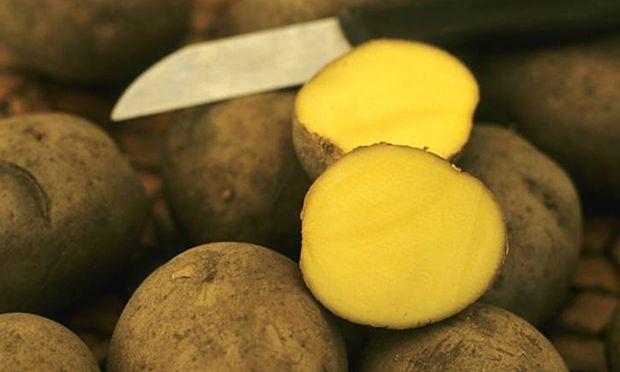 Kartoffel Solanum tuberosum Gunda Solanum tuberosum Gunda Sorte Gunda mehlig kochend potato S