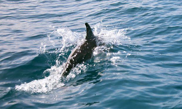 Symbolbild: Delfin