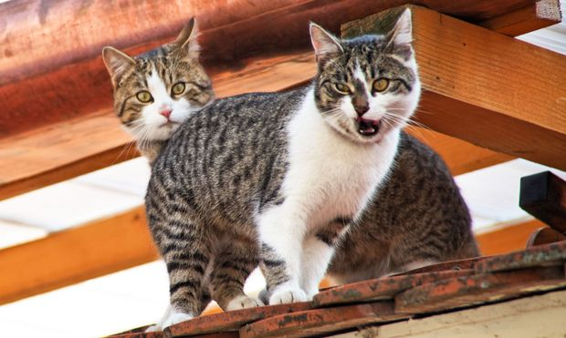 Zwei Hauskatzen auf einem Dach