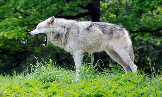 Ein Artgenosse dieses Wolfs dürfte gerade in Salzburg sein Unwesen treiben.