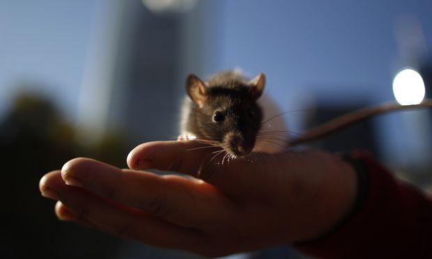 Eine Ratte in der Hand eines Menschen ist nichts Besonderes. Was aber ist es, wenn ein Teil eines Menschen im Schädel der Ratte sitzt?