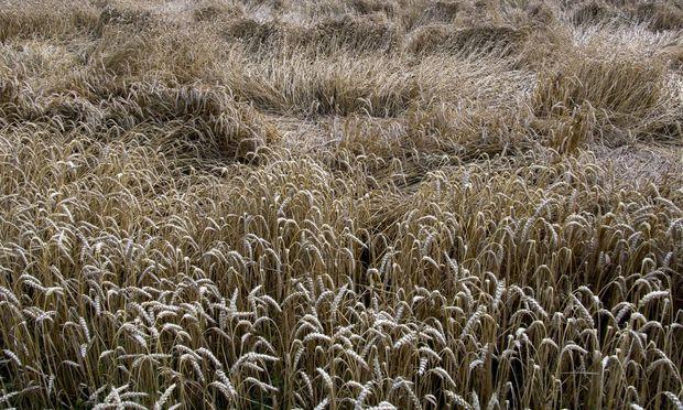 Unwetterschaeden Getreidefeld Tel 01715320598 Unwetterschaeden auf einem Weizenfeld auf der Insel