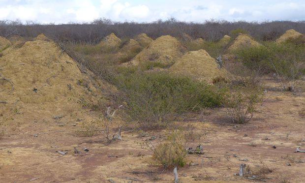 """""""Unglaublich, dass man heute noch ein biologisches Wunder entdecken kann"""": von Termiten erzeugte Hügel in der Caatinga im nordöstlichen Brasilien."""
