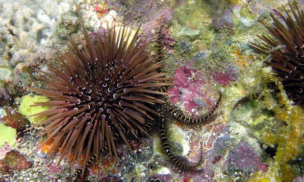 Echinometra – hier im Roten Meer mit einem Schlangenstern – ist einer der häufigsten Seeigel weltweit. Bis zu 100 Seeigel sitzen auf einem Quadratmeter. Die Tiere fressen Algen und helfen damit, Korallenriffe zu bewahren.