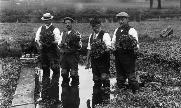 Brunnenkresse-Ernte in Wimbledon im Jahr 1913
