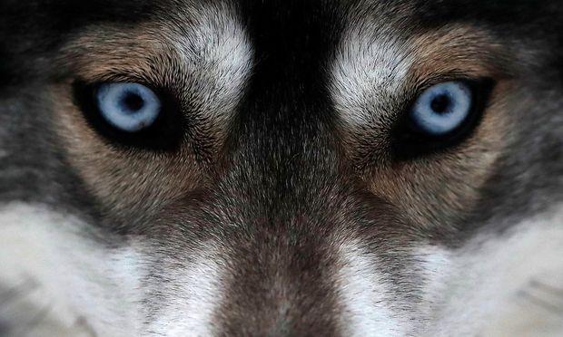 Nur wenige Hunderassen können blaue Augen haben.