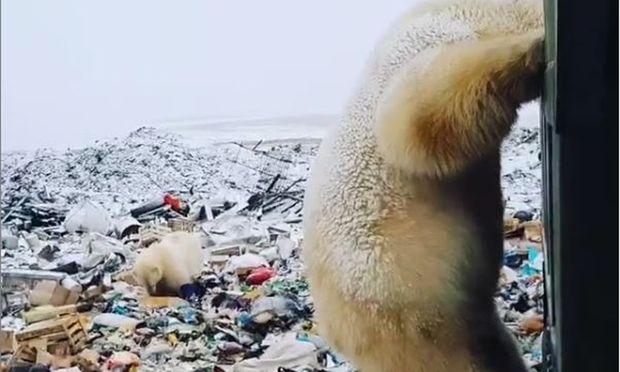 Eisbären verlieren wegen des Klimawandels ihren natürlichen Lebensraum.
