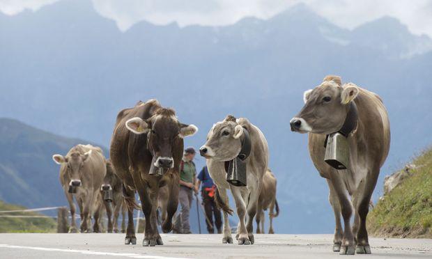 Schweizer Kühe werden immer größer.