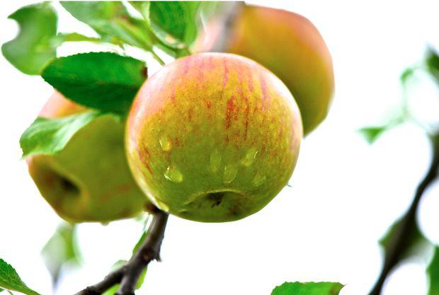 Viele Apfelsorten kann man monatelang lagern.