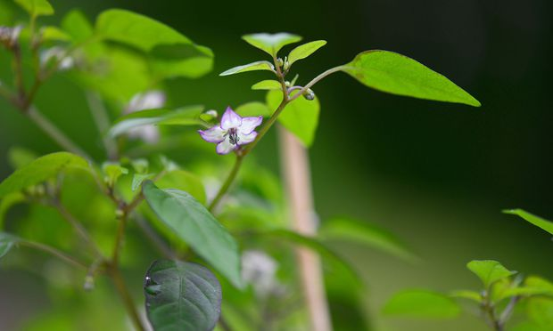 Vorgezogene Pflanzen wie die Chiliblüte können ab sofort ins Freie gebracht werden.