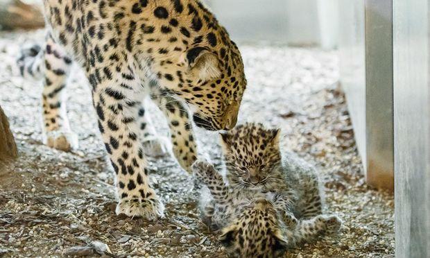 Die Tierbabys balgen miteinander.