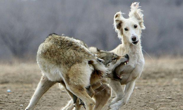 Warum hält sich die Mär vom bösen Wolf bis heute?