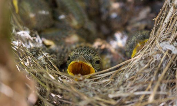 Will ein Vogel Hochzeit machen, helfen profunde Hausbaukenntnisse, um das Weibchen zu beeindrucken.