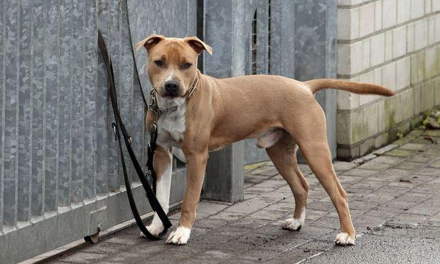 Symbolbild: Stafford Terrier