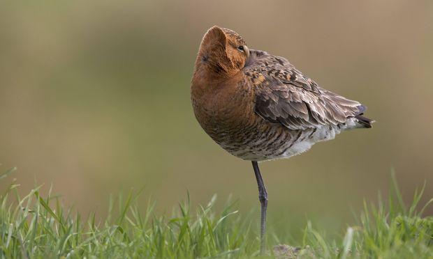 Den Kopf nach hinten ins Gefieder gesteckt: Das ist bei vielen Vogelarten die typische Schlafposition.