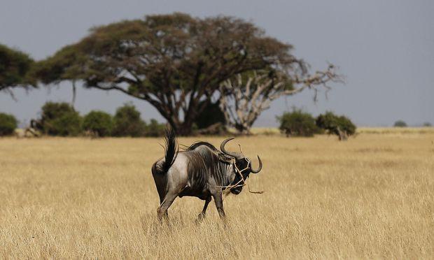 Die Wanderungen etwa der Gnus folgen Wegen, die Nutztiere vor 3500 Jahren gezogen haben.