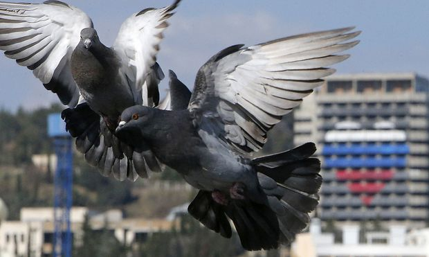 Pigeons fly on the bank of the Black Sea in Alushta