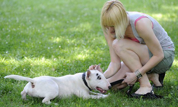 """Archivbild: Ein Bull Terrier während einer """"Hundeführschein-Prüfung"""" im Juni 2010 in Wien"""