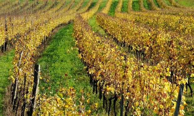 Symbolbild: Weingarten