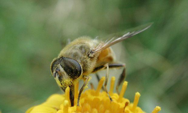 Biene sammelt Bluetenstaub