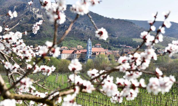 Blick über die Donau auf Dürnstein: Am Südufer stehen die Marillenbäume derzeit in Vollblüte.