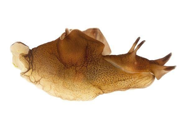 Aplysia, das Labortier der Gedächtnisforscher: An den riesigen Nervenzellen der Meeresschnecke lässt sich unser Gedächtnis studieren.