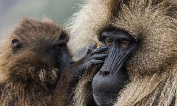 Blutbrustpaviane leben im Simien-Mountains-Nationalpark.