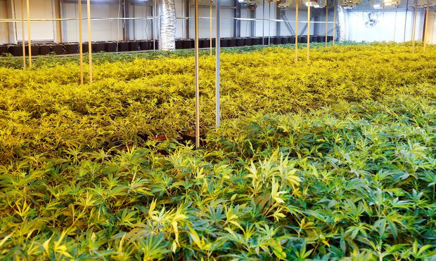 Cannabis plants are seen in a greenhouse of Swiss cannabis producer KannaSwiss in Koelliken