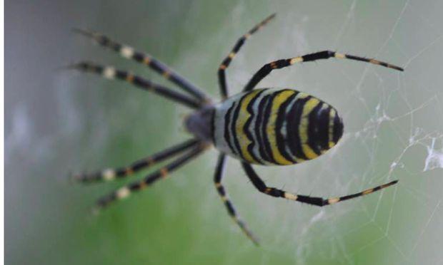 Kreuz- und Zebraspinnen (im Bild) haben Hochsaison.