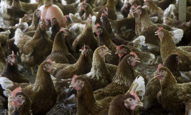 Dega 16 kam in vielen Hühnerställen zum Einsatz.  / Bild: (c) imago/imagebroker