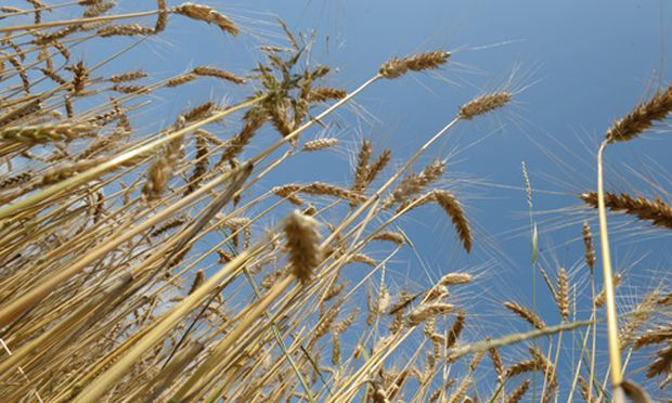 Teures Getreide wird verfuettert