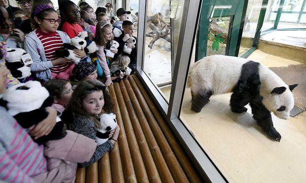 Panda-Männchen Yuan Yuan wurde am Montag offiziell im Tiergarten Schönbrunn begrüßt.