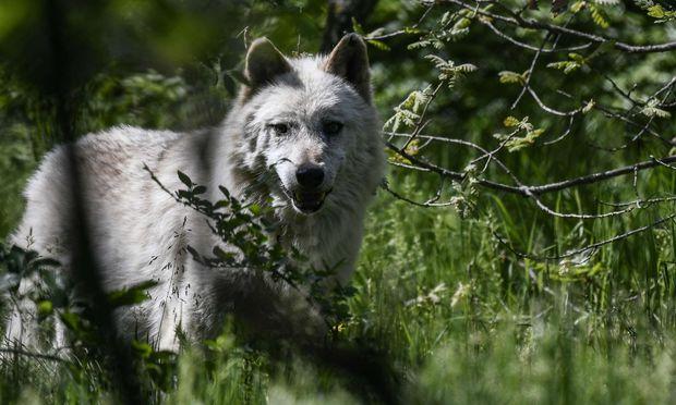 Der WWG fordert einen Wolfsgipfel.