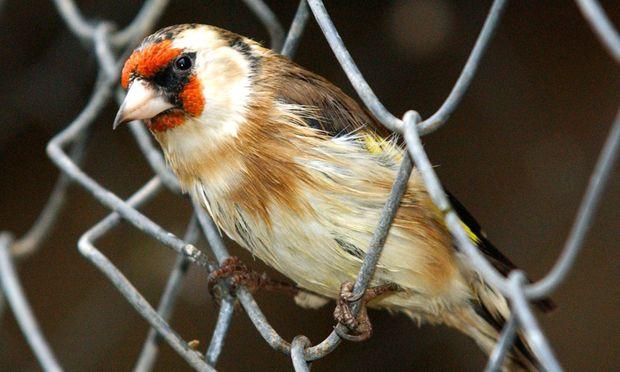 Vogelfaenger Ebensee