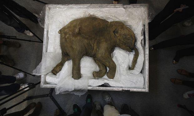 Ein gut erhaltene Babymammut.
