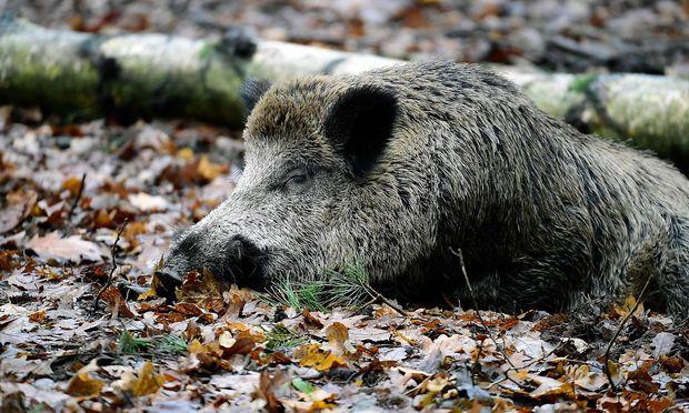 Danemark Baut Einen Grenzzaun Gegen Wildschweine Diepresse Com