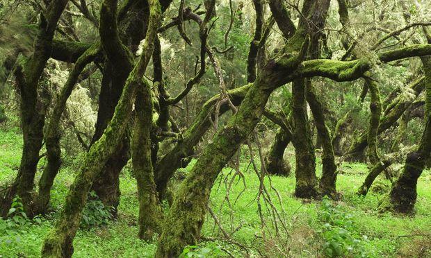 Subtropischer Lorbeerwald hat einen einfachen Stockwerkaufbau. Wirklich durch- schauen kann man ihn trotzdem nicht – schon wegen des häufigen Nebels.