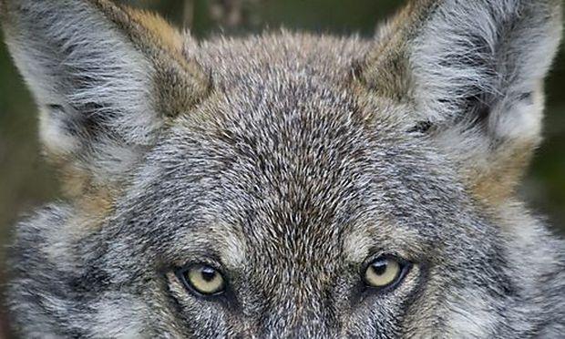 Wolf Schneeberg neun Schafe
