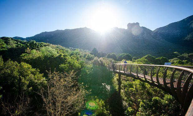 """Kapstadt. Der Botanische Garten von Kirstenbosch wurde 1913 gegründet und der Aufgabe gewidmet, die Pflanzenwelt der Kapregion zu bewahren. Ungefähr 7000 Pflanzenarten wachsen hier. Dazwischen schlängelt sich die """"Boomslang"""", ein Wandersteg auf Wipfelhöhe."""