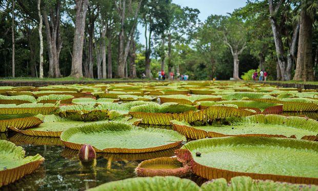 Mauritius. Sir Seewoosagur Ramgoolam Botanical Garden, so der leicht sperrige offizielle Name. Oder auch: Botanischer Garten Pamplemousses.  Jedenfalls gilt er als der älteste in der südlichen Hemisphäre. Ursprünglich wurde er zum Gewürzanbau angelegt. Der französische Gartenexperte Pierre Poivre kultivierte ihn 1770 zum botanischen Garten. Berühmt: die riesigen Seerosen.